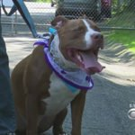 Rehabbing Pitbulls Into Service Dogs