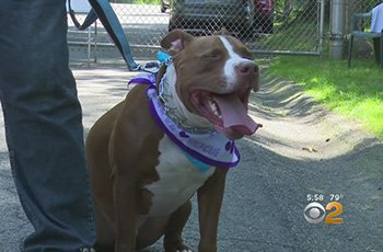 rehabbing pitbulls into service dogs fi