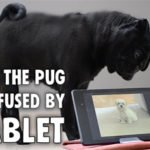 Bewildered Pug Pounces At Barking Mobile Device