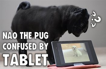 bewildered pug pounces at barking mobile device fi
