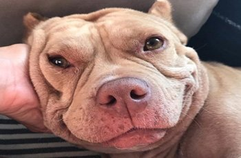 a pit bulls sweet soul shines through her smile fi