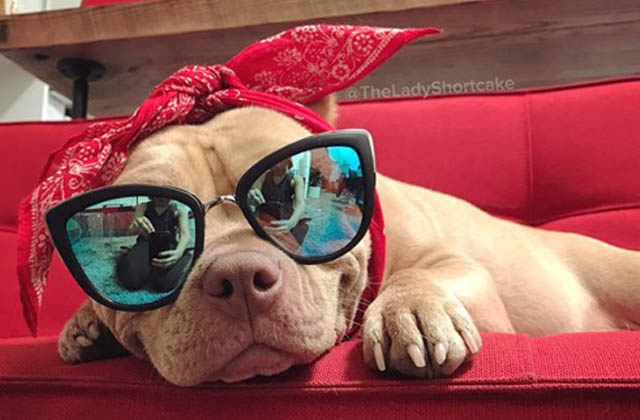 pit bull with sunglasses