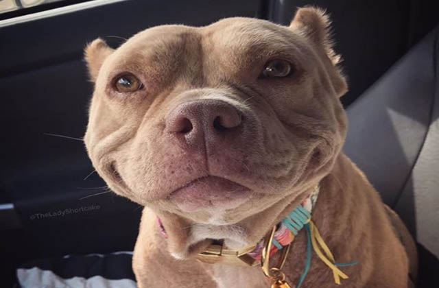 do pit bulls smile