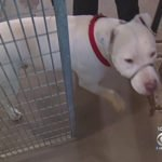 Pit Bull Is Stolen From Shelter, Then Microchip Reveals He's 700 Miles Away