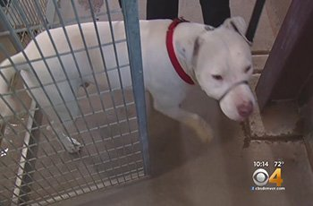 pit bull is stolen from shelter you wouldnt guess where hes at fi