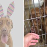 "Pit Bull Returned to Shelter Because She was ""Too Nice"" To Be A Guard Dog"