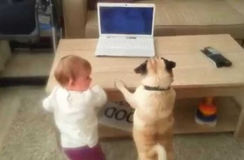pug joins his toddler sister in skype call to their dad on laptop fi