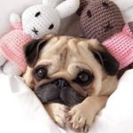 Facts You May Not Know About Pugs!