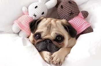 pug luv a breed that owns the hearts of many FI