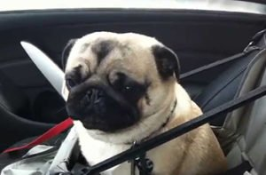 Pug Gets Hyper-Psyched When They Arrive at Puggie Daycare