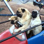 Pugs Enjoy Trip to Amusement Park