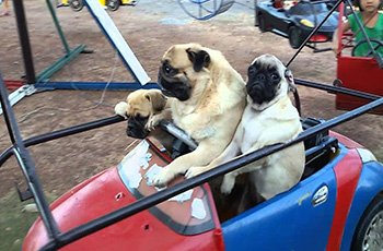 pugs enjoy trip to amusement park fi