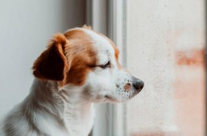 Signs That Your Dog is in Pain