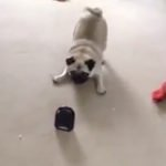 Farting Noise-maker Entertains Pug: Quite Hilarious!