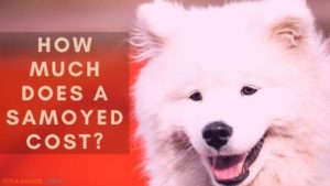 How Much Does a Samoyed Cost?