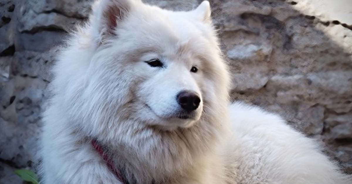 How Much Does a Samoyed Cost