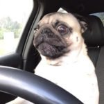 Pug puts everyone on notice when he's in the driver's seat!