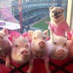Puggie with a Piggy Posse
