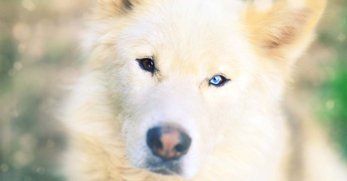 are samoyeds loyal dogs