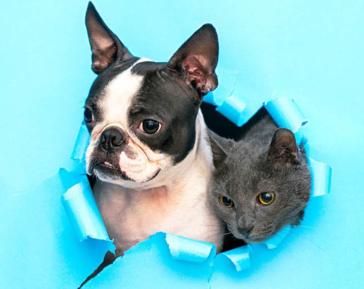 boston terrier with cat