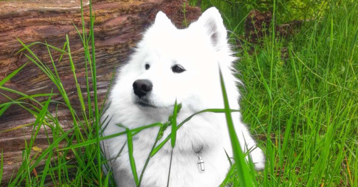 info about the samoyed breed