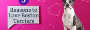5 Reasons to Love Boston Terriers