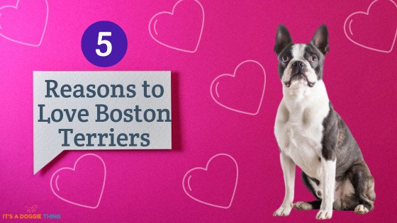 reasons to love boston terriers-