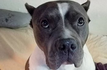 pit bull left at shelter filled a void in the heart of adoptive mom FI