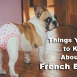 Things You Need to Know About the French Bulldog