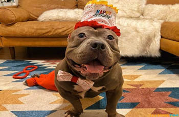 cantu can do anything! little pit bull overcomes the obstacles of being paralyzed FI