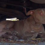 Homeless, Hurt, and Hiding – The story of a young pit bull's rescue after someone saw her get struck by a car.