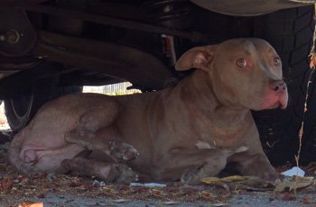 homeless, hurt, and hiding - the story of a young pit bull's rescue after someone saw her get struck by a car FI