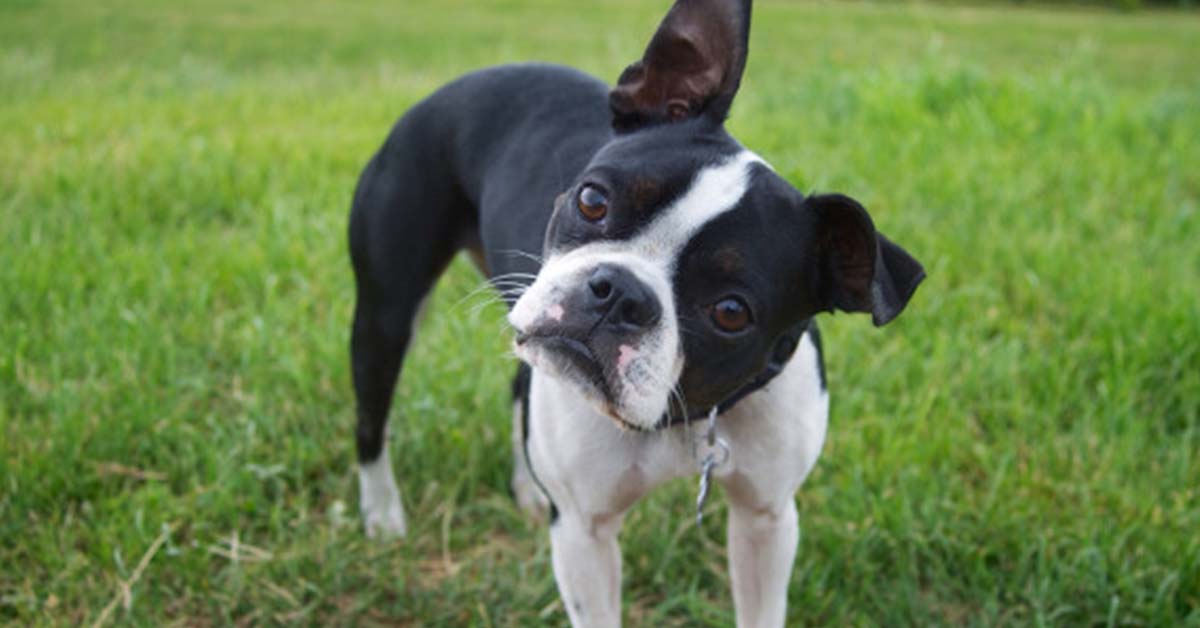 5 reasons to love boston terriers