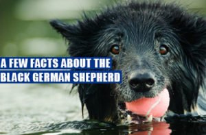 A Few Facts About The Black German Shepherd