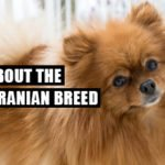 All About The Pomeranian Breed