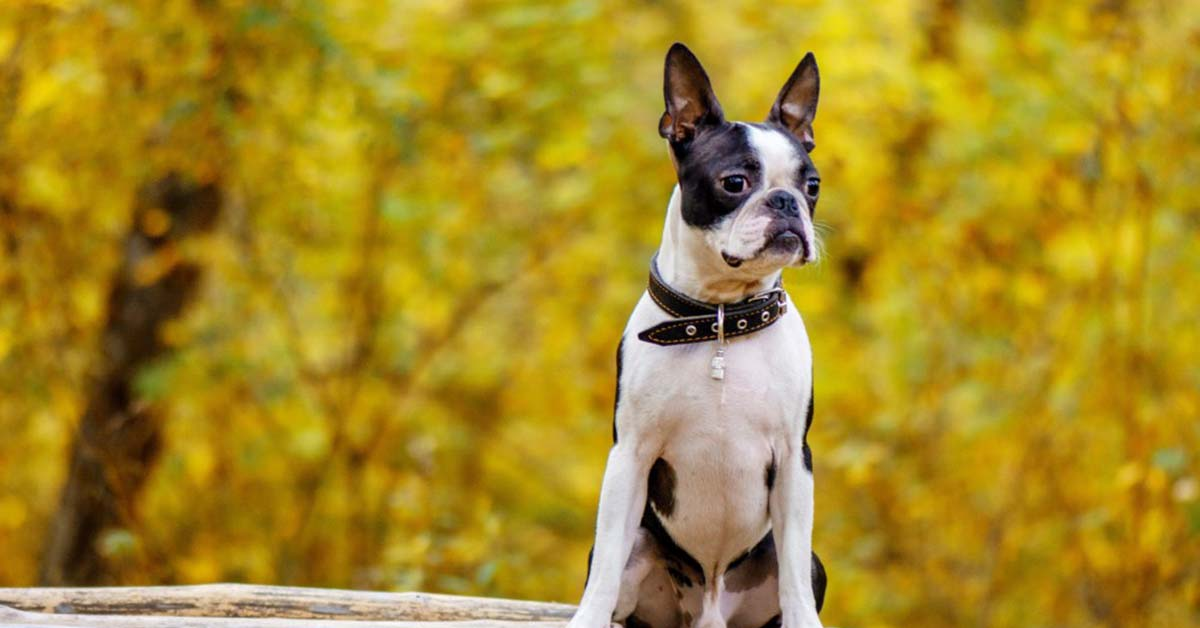 are boston terriers sociable dogs