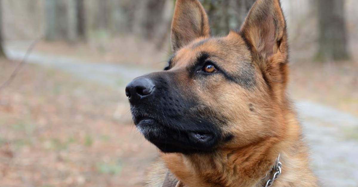 are german shepherds loyal dogs