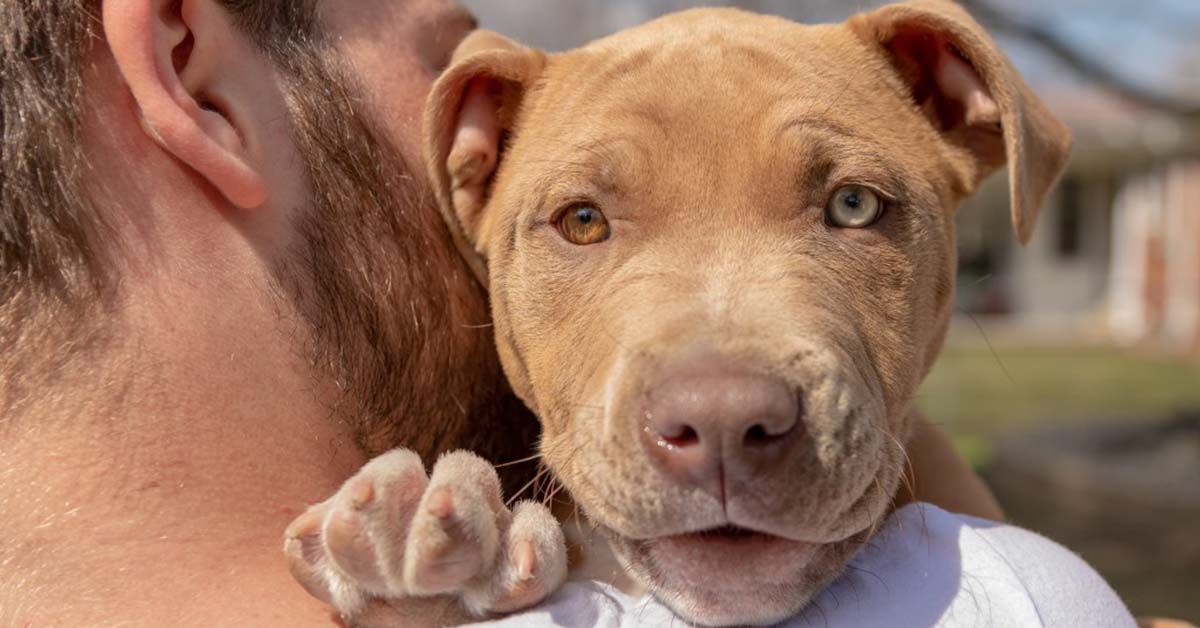 are red nose pit bulls rare