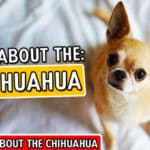 All About The Chihuahua Breed