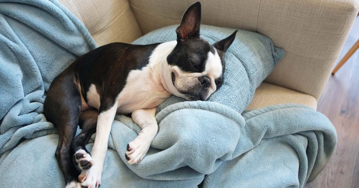do boston terriers make good pets