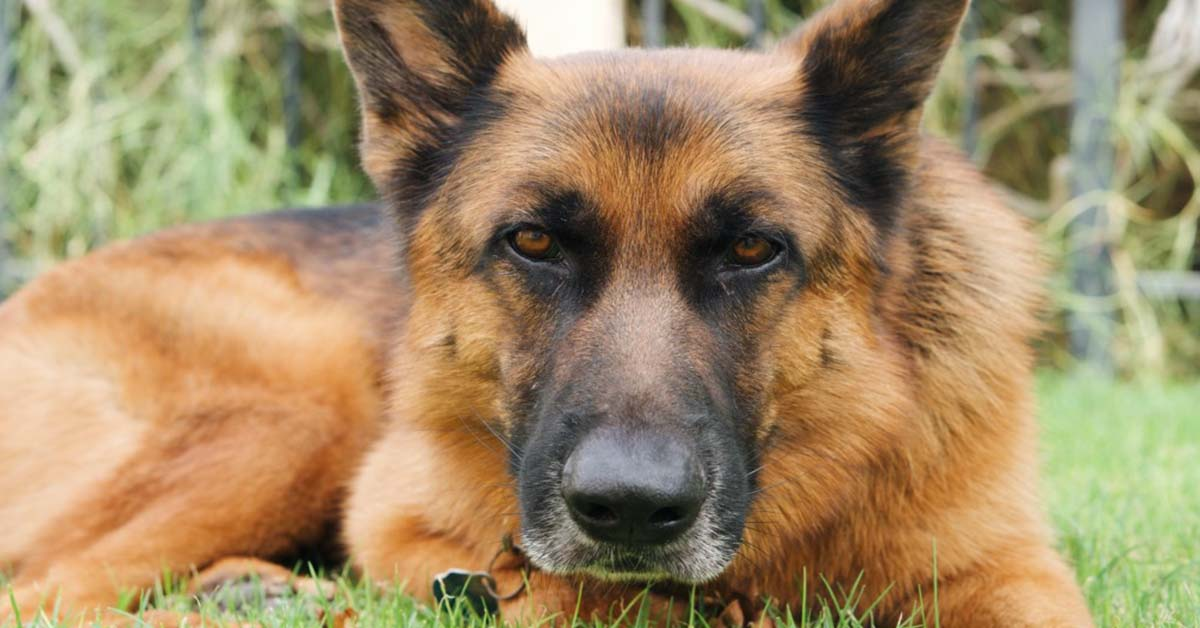 facts about the german shepherd