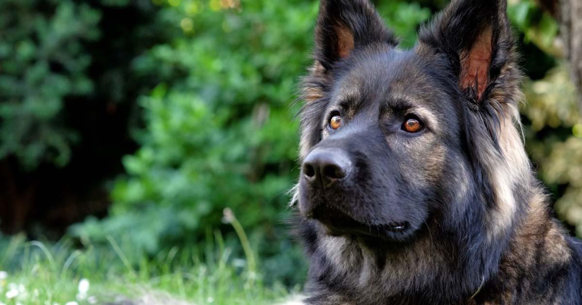 info about german shepherds