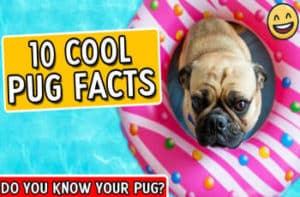 10 Cool Pug Facts
