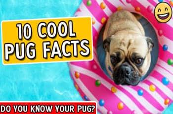 pug facts