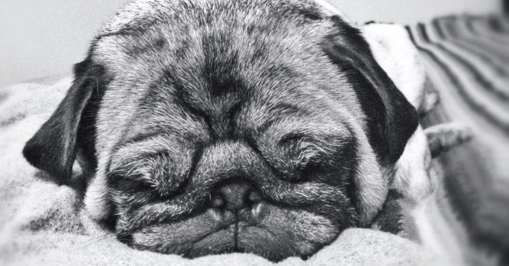 pug wrinkles