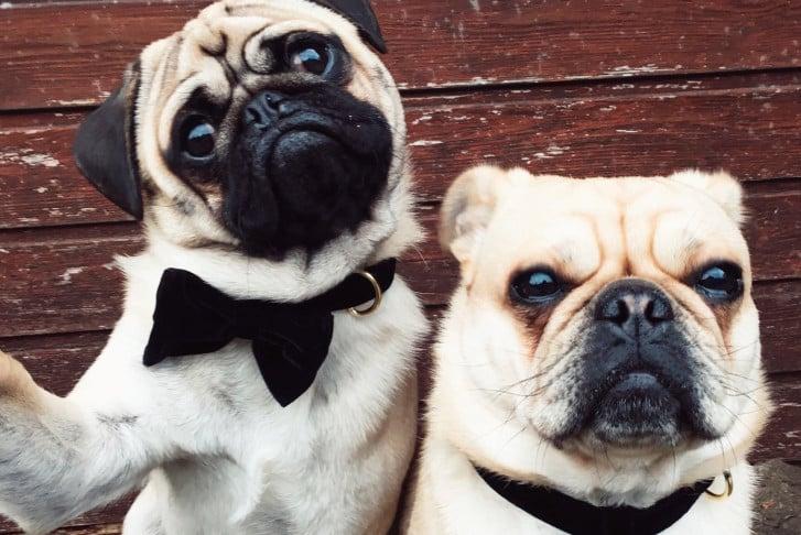 royal pugs